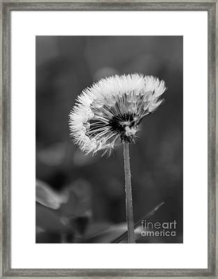 Morning Dandelion Framed Print