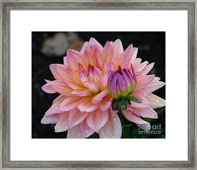 Morning Dew  Dahlia Framed Print by Judyann Matthews