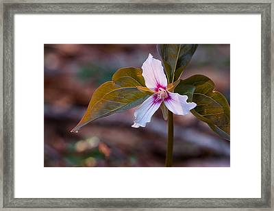Morning Dew On Painted Trillium Framed Print