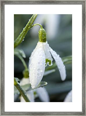 Morning Dew On Snowdrop Framed Print