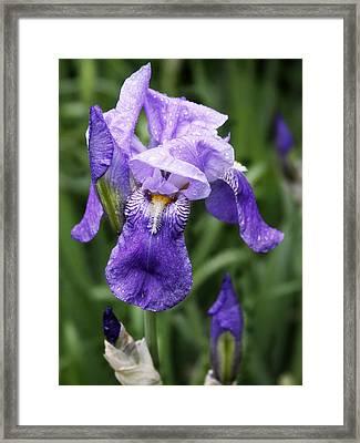 Morning Dew On The Iris Framed Print
