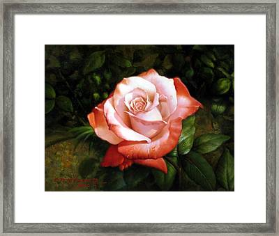 Morning Dew On The Rose Faded Framed Print