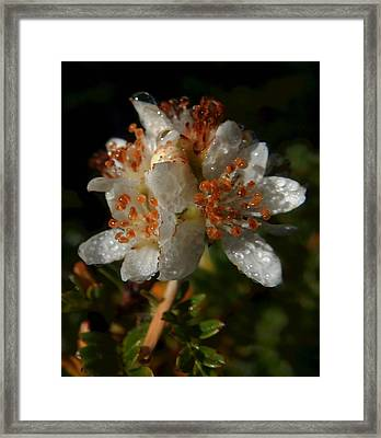 Morning Dew Framed Print by Pamela Walton