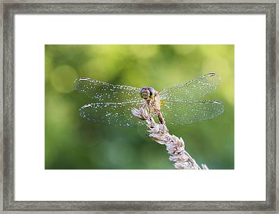 Morning Dragonfly Framed Print by Mircea Costina Photography