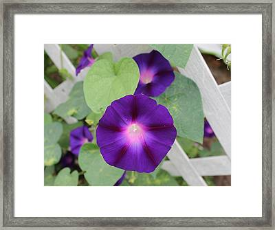 Morning Glore 2 Framed Print by Victoria Sheldon