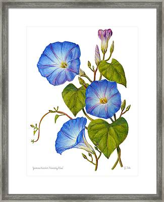 Morning Glories - Ipomoea Tricolor Heavenly Blue Framed Print by Janet  Zeh