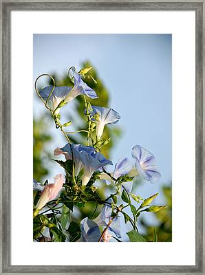 Morning Glories Framed Print by Susan D Moody