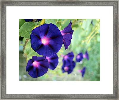 Morning Glory Climbing Framed Print