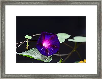 Morning Glory - Grandpa Ott's Framed Print