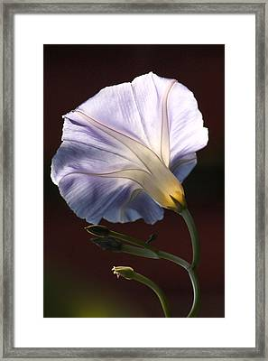 Morning Glory Light Framed Print