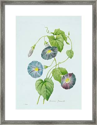 Morning Glory Framed Print by Pierre Joseph Redoute