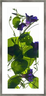 Morning Glory Rising Framed Print by Julia McLemore