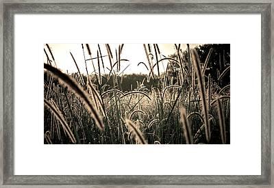 Morning Grasses  Framed Print