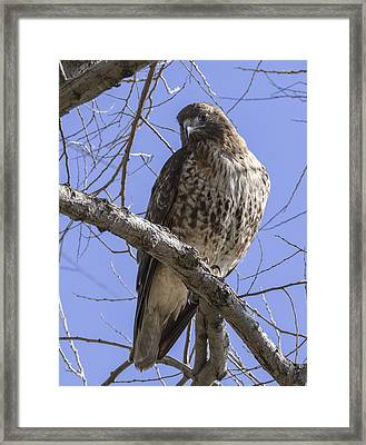 Morning Hawk Framed Print