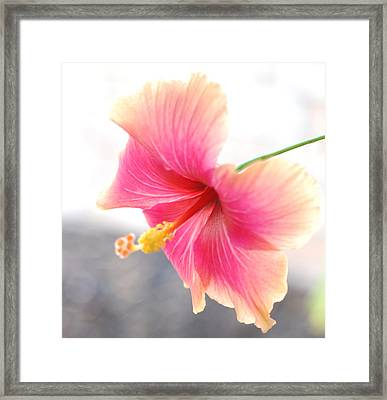 Morning Hibiscus In Gentle Light - Square Macro Framed Print