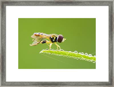 Morning Hoverfly Framed Print by Mircea Costina Photography