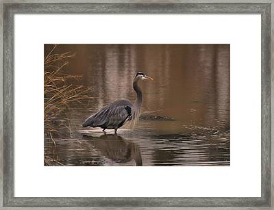 Morning Hunt Great Blue Heron - C8509c Framed Print by Paul Lyndon Phillips