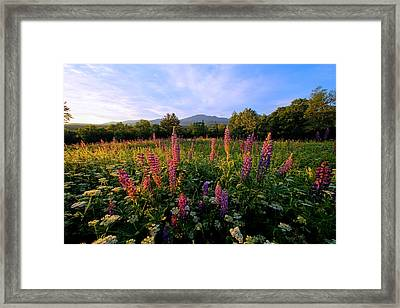 Morning Lupines Framed Print by Andrea Galiffi