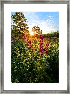 Morning Lupines Of Sugar Hill Framed Print by Andrea Galiffi