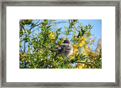 Morning Mockingbird Framed Print by Preston Broadfoot