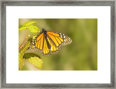Morning Monarch Glow Framed Print by Bill Tiepelman
