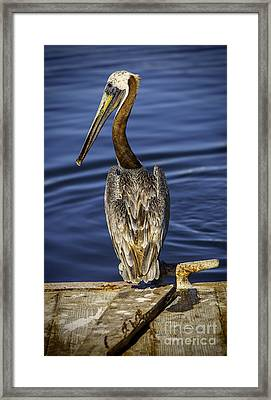Morning Pelican Framed Print by David Millenheft