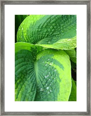 Morning Rain Hosta Framed Print