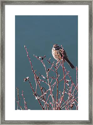 Morning Sparrow Framed Print by Jan Davies