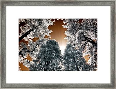 Morning Sun And Pines Framed Print