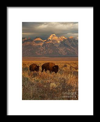 Bison Framed Prints