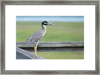 Morning Treasure Night Heron Framed Print
