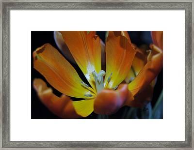 Morning Tulip Framed Print by Vallee Johnson