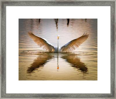 Morning Wings An Egret Awakes Framed Print