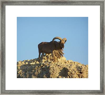 Moroccan Barbary Sheep Framed Print by Noreen HaCohen