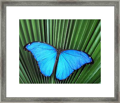 Morpho Butterfly On Fan Palm Framed Print by Robert Jensen