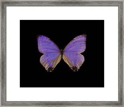 Morpho Butterfly Framed Print by Science Photo Library