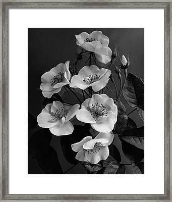 Moschata Alba Framed Print