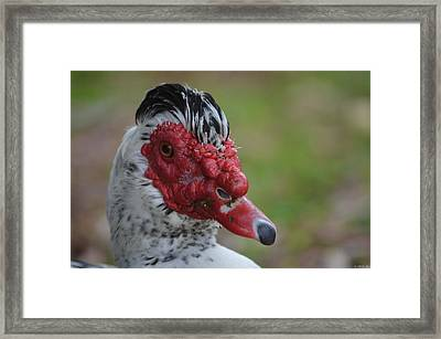 Moscovy Duck With Hairdo Framed Print by Jeff at JSJ Photography