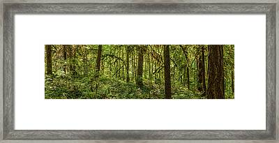 Moss Covered Fir Trees In Temperate Framed Print