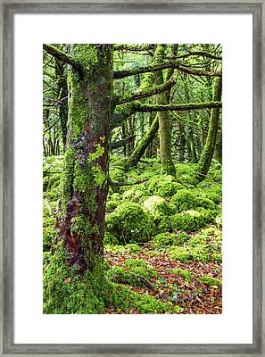 Moss Covered Trees In Killarney Framed Print
