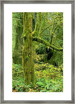 Framed Print featuring the photograph Moss Draped Big Leaf Maple California by Dave Welling