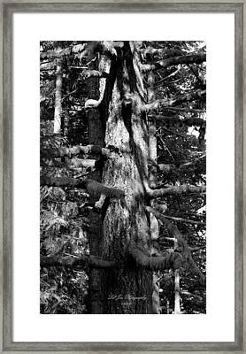 Moss On The Evergreens II In Black And White Framed Print by Jeanette C Landstrom