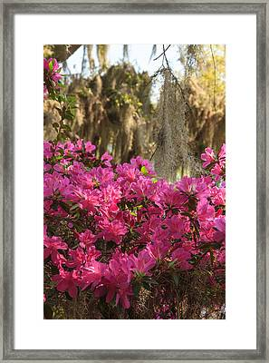 Framed Print featuring the photograph Moss Over Azaleas by Patricia Schaefer