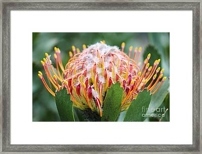 Mossel Bay Pincushion Protea Flower Framed Print by Neil Overy