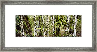 Mossy Birch Trees In A Forest, Lake Framed Print