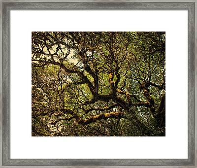 Mossy Oak In Golden Sunlight Framed Print by Julie Magers Soulen