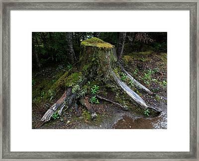 Mossy Tree Stump Framed Print by Amanda Holmes Tzafrir