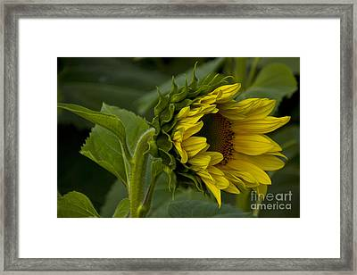 Mostly Open Sunflower Framed Print