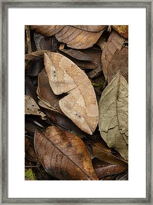 Moth Camouflaged Against Leaf Litter Framed Print