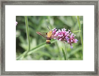 Moth On Flowers Framed Print by Jill Bell